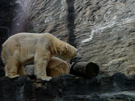 Polar Bear, Roar, Area, White, Animal