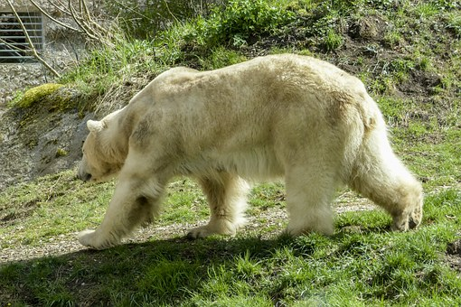 Polar Bear, Female, Animal, Mammal, Nature, Wildlife