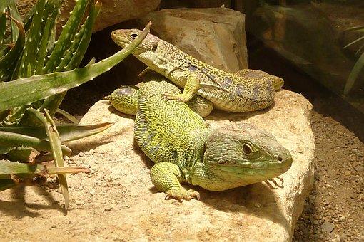 Lizard, Timon Lepidus, Reptile, Green, Scale, Animal