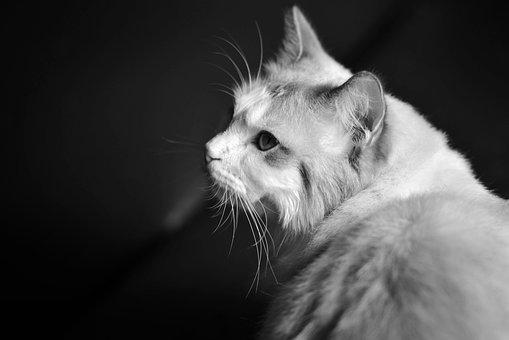 Cat, Ragdoll, Animal, Animal Demeanor, Animal Close-up