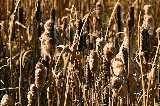 Cattails, Reeds, Bulrush, Nature, Plant, Wetland, Pond