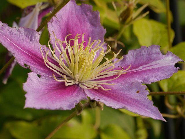 Flower, Blossom, Bloom, Pollen, Clematis, Summer