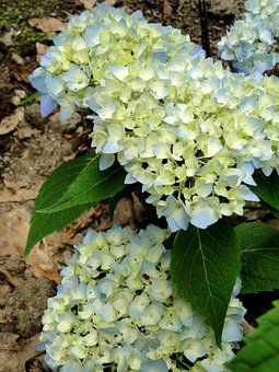Hydrangeas, Flowers, Buds, Blooming, Endless Summer