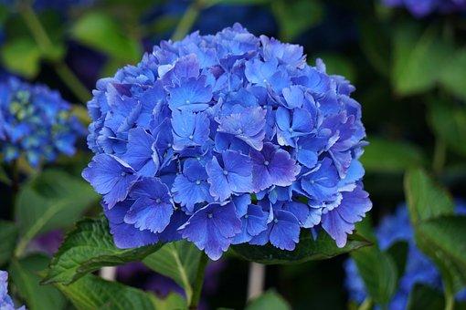 Flower, Hydrangea, Blue, Flora, Botany, Flowering