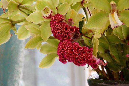 Celosia, Celosia Argentea, Cristata Group, Brain Flower