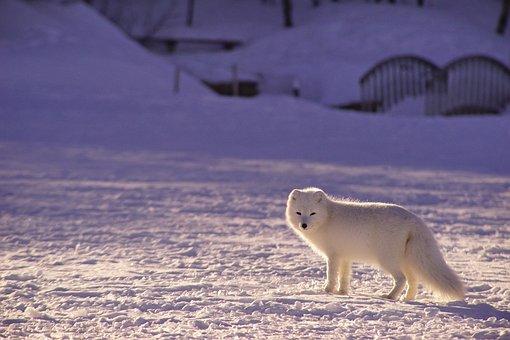 Adorable, Animal, Animal Photography, Arctic Fox, Blur