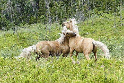 Quarter Horse, Fighting, Mammal, Horses, Animal, Wild