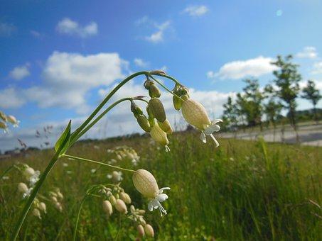 Silene Vulgaris, Wild Plants, Blooming, Close-up