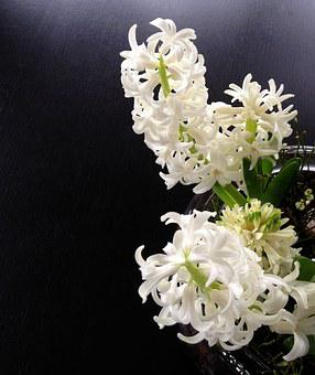 Hyacinth, Hyacinths, Sprung Hyacinth, White, Spring