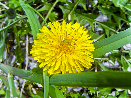 Flowers, Dandelion, Nature, Spider, Insects, Yellow
