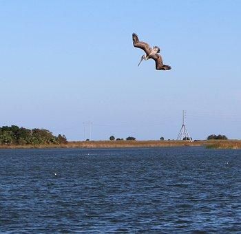Pelican, Diving, Bird, Wildlife, Nature, Flying, Water