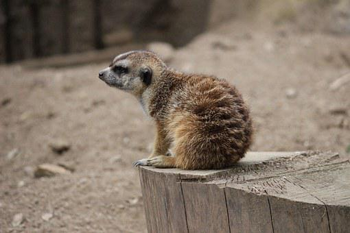 Meerkat, Animal, Small, Brown, Cute, Zoo, Desert