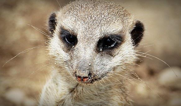 Meerkat, Animal, Nature, Curious, Small, Fur, Guard