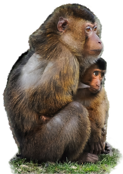 Isolated, Ape, Scarred, Macaque, Monkey, Animal, Mother