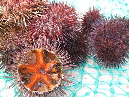 Sea Urchins, Seafood, Fang, Mediterranean, Egg