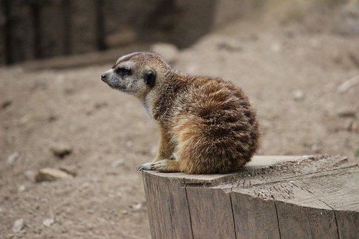 Meerkat, Animal, Small, Brown, Cute, Zoo, Desert