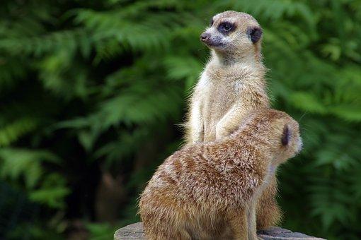 Surykatka, Meerkats, Sitting, Funny, Fun, Pet, Animal