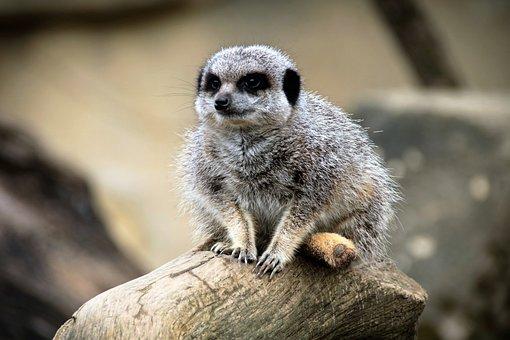 Meerkat, Wild, Animal, Wildlife, Mammal, Suricate
