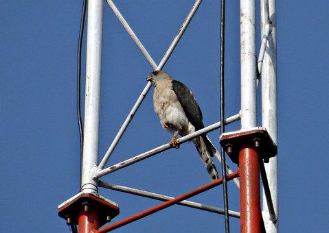 Shikra, Accipiter Badius, Bird Of Prey, Accipitridae