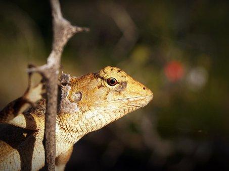 Animal, Close-up, Eye, Gecko, Lizard, Macro, Outdoors