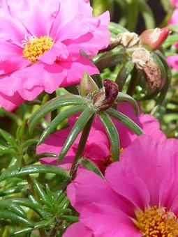 Portulaca Grandiflora, Portulakgewaechs, Portulacaceae