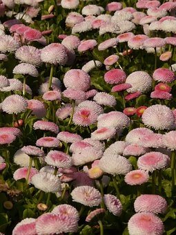 Rob Roy, Daisy, Red, Flower, Blossom, Bloom, Plant