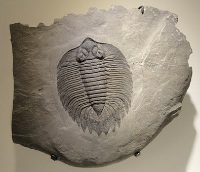 Arctinurus Boltoni, Trilobite, Fossil, Shale