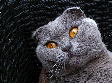 Scottish Fold, Breed Cat, Cat Kitten, Gray, Animals