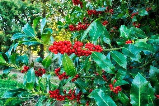 Europeon Holly, Plants, Blooms, Flowers, Macro