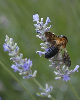 Bee, Resin Bee, Lavender, Macro, Insect, Wing, Wildlife