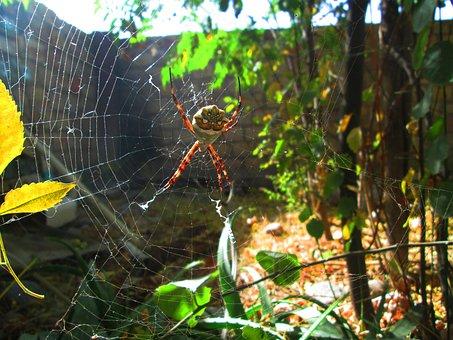 Argiope Argentata, Web, Patio, Spider, Autumn, Silver