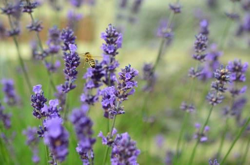 Lavender, Bee, True Lavender, Lavender Flowers
