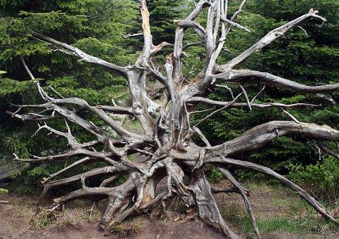 Forward, Root, Lothar, Black Forest, Overturned, Wind