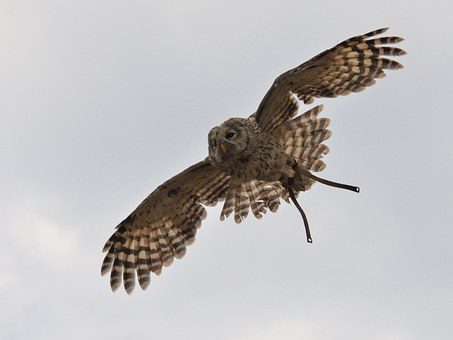 Raptor In Flight, Span, Wings, Heaven, Fly