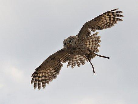 Raptor In Flight, Span, Wings, Heaven, Fly