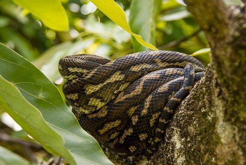 Carpet Python, Snake, Python, Coiled, Close-up
