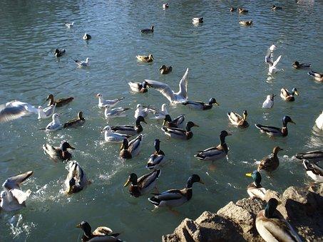 Birds, Ducks, Seagulls, Sauvabelin Lake, Lausanne