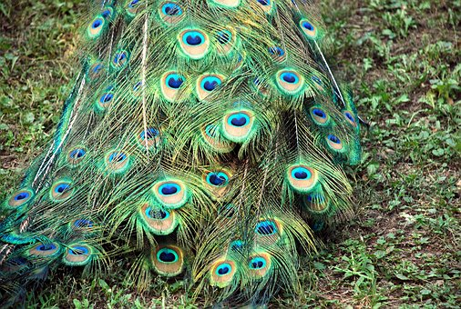 Peacock, Tail, Color, Fauna, Green, Courtship, Turkey