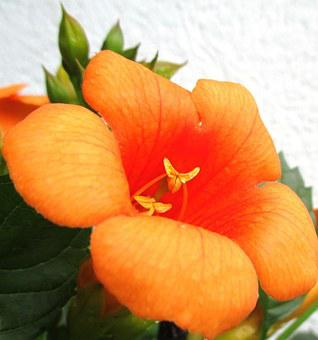 Stans, Indian Summer, Orange-red Flower