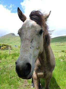 Connemara Pony, Pony, Horse, Animal, Mane, Horse Head