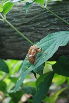 Cicada, Macro, Small Cicada, Cicadellidae, Insect