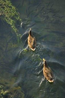 Ducks, Swimming, Water, Pond, Zenith, Reflection