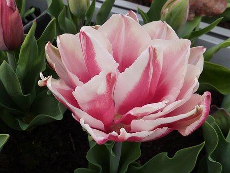 Flower, Tulip, Flower Double, Wirosa