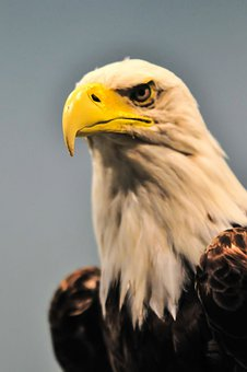 America, American, Animal, Bald, Beak, Beauty, Bird