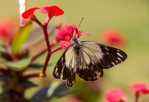 Caper White Butterfly, Butterfly, White, Black, Wild