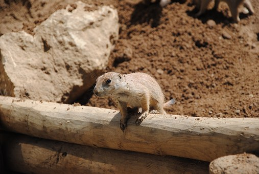Lemming, Desert, Eye, Head, Looking, Sand, Animal, Face