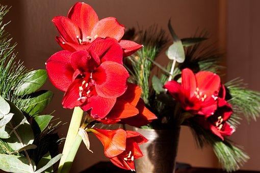 Amaryllis, Red, Blossom, Bloom, Flower, Plant, Botany