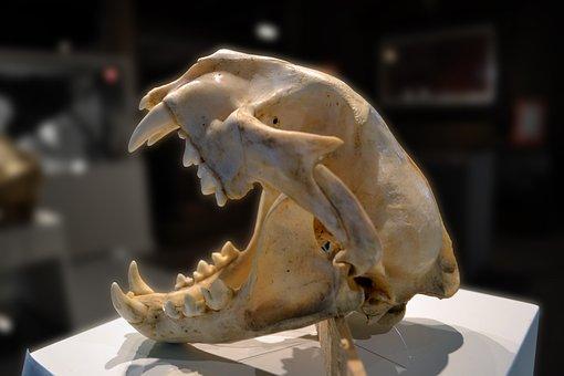 Skull, Puma, Mountain Lion, Dead, Death, Teeth, Cranium
