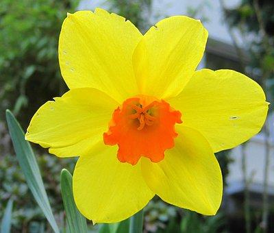 Narcissus, Full Bloom, Daffodil, Spring