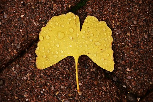 Ginkgo, Ginkgo Leaf, Autumn, Welkes Sheet, Withered